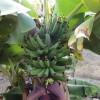 Garten-Banane