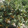 Garten-Mandarinen